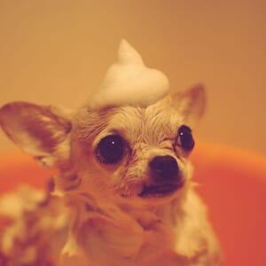 Show Dog Grooming